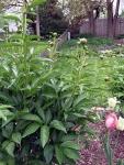 photo of peonies buds